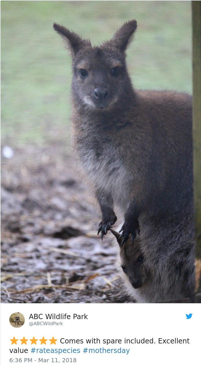kangaroo spare