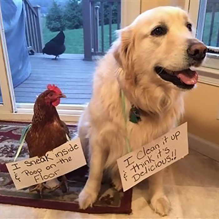 chicken and dog tandem