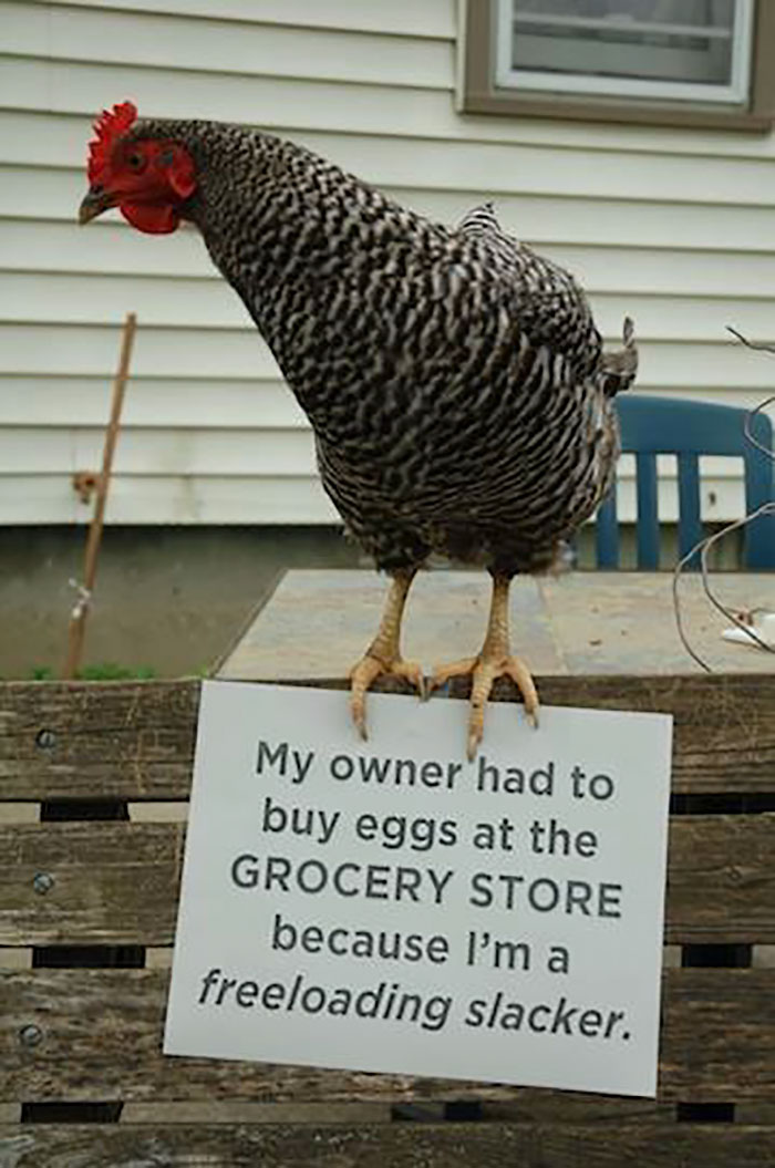 chicken freeloading