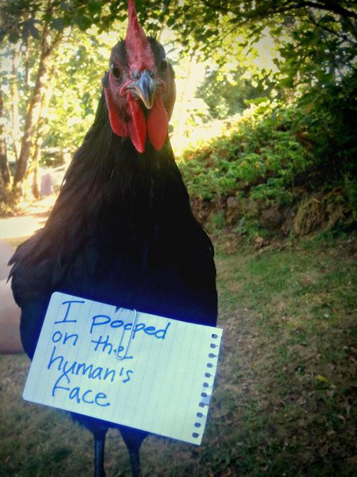 chicken looks guilty
