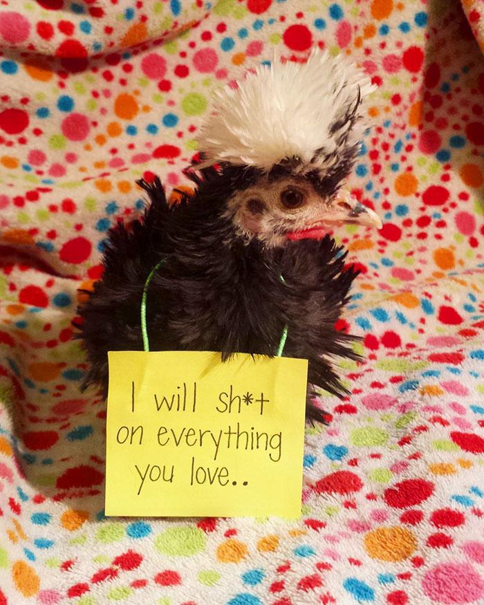 cutie chicken