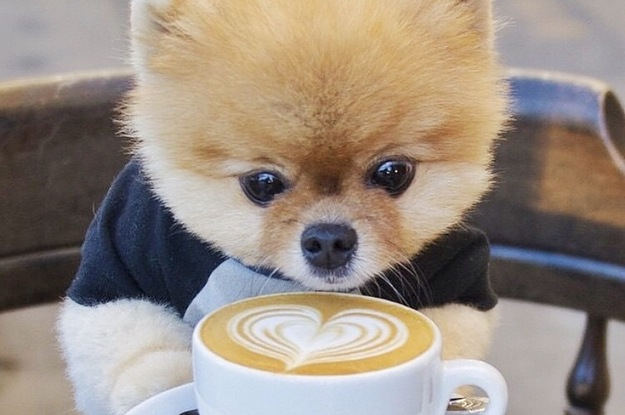 cutie dog loves coffee