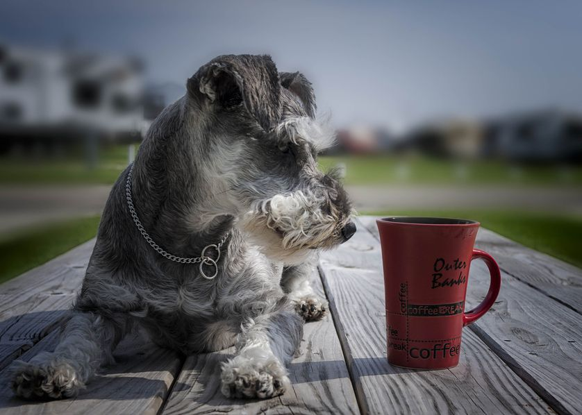 dog eyeing the coffee