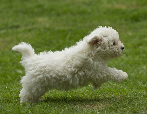 Dog - Bichon Frise - 8 week old puppy running