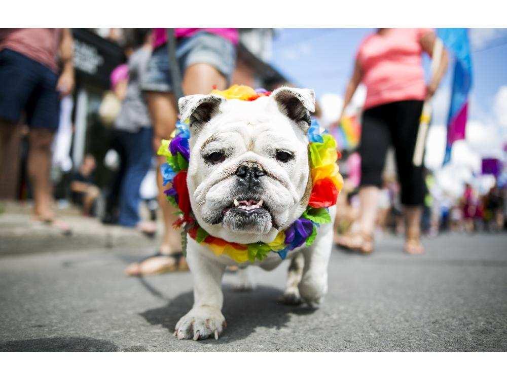 bulldog rainbow