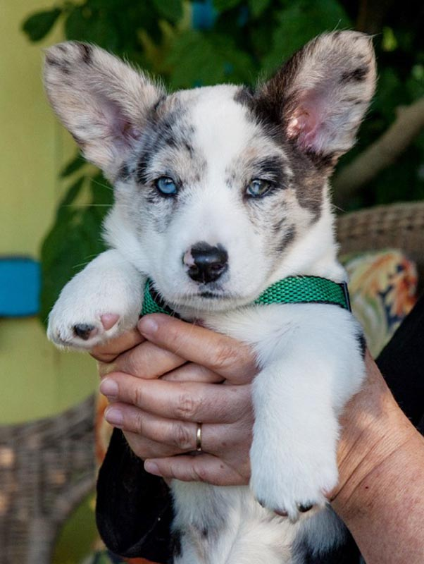 The eight-week old Cardigan Welsh Corgi puppy.
