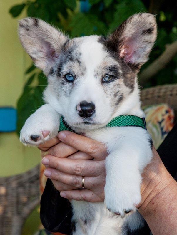 The eight-week old Cardigan Welsh Corgi puppy.