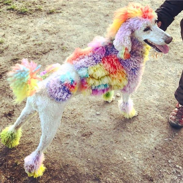 cutie poodle fur rainbow