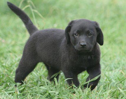 This Black Labrador looks like a cute Black Panther.