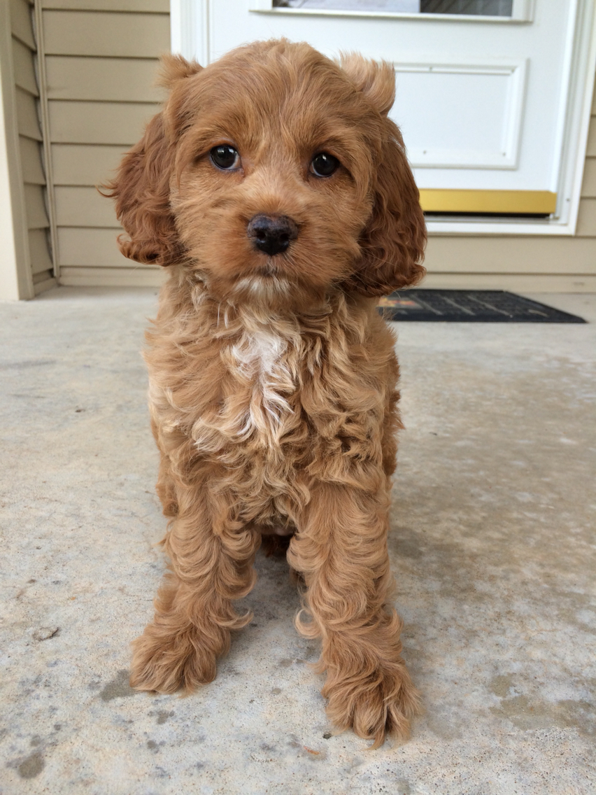 red cockapoo