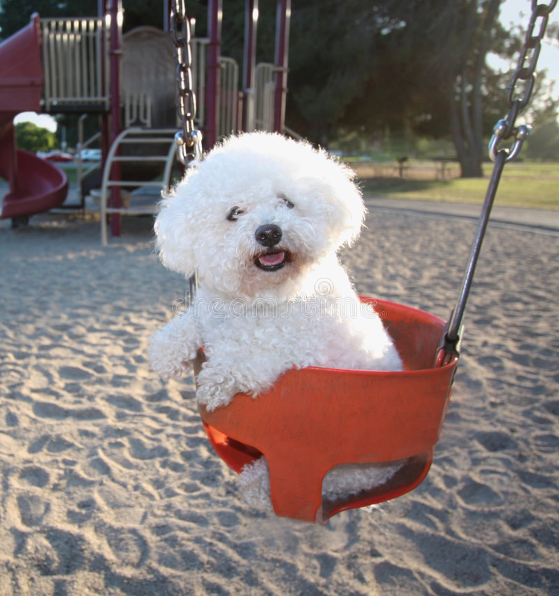 fluffly dog on a swing