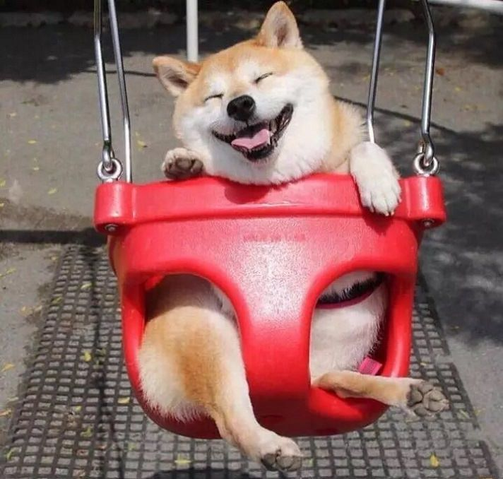 happy shiba inu swing