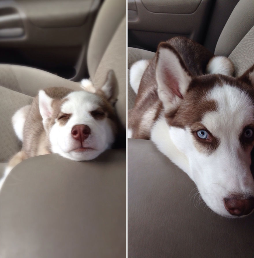 7 months apart husky