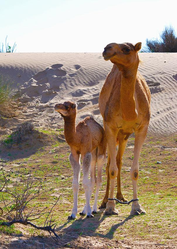 mini me camel