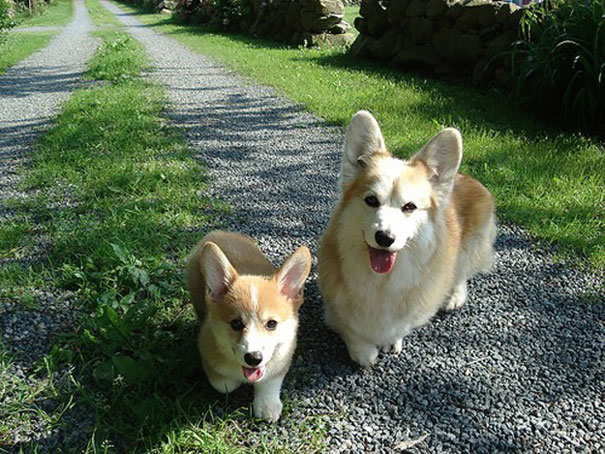 mini me corgi dog