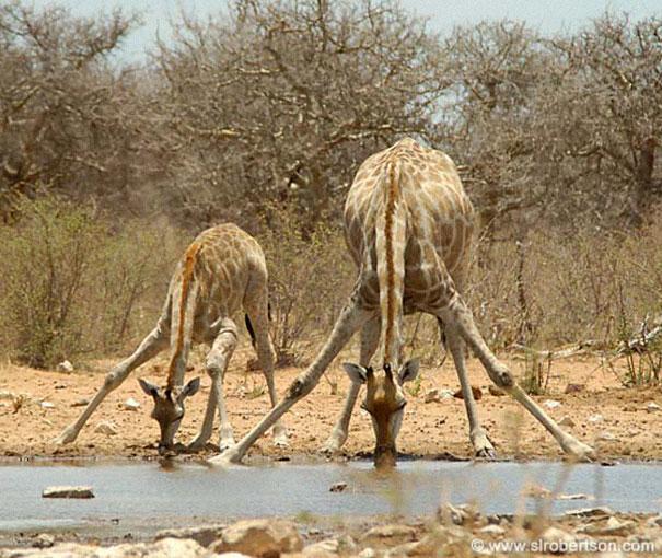 mini me giraffe