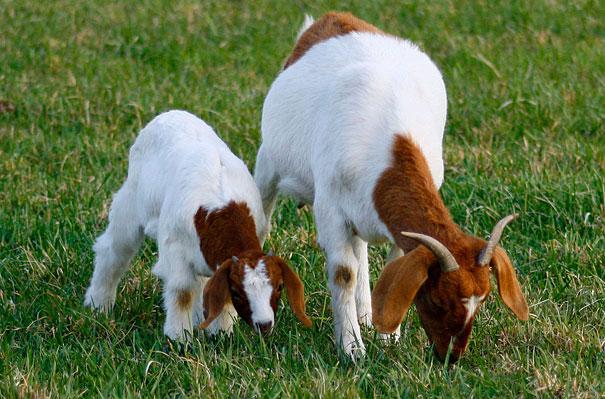 mini me goat