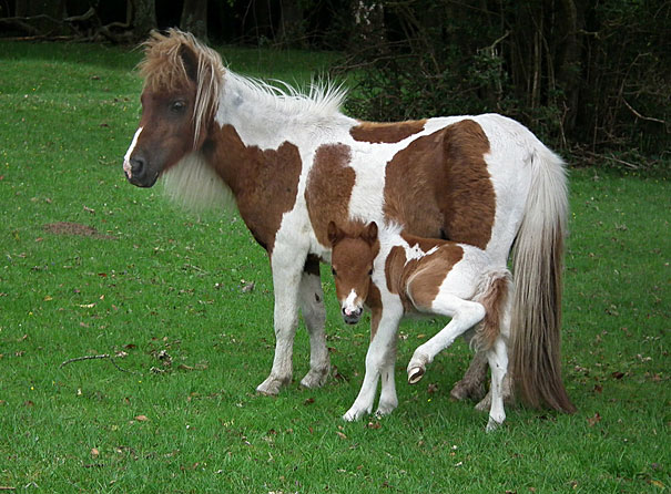 mini me horse
