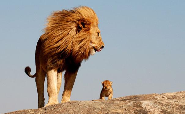 mini me lion
