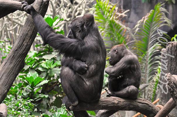 mini me orangutan