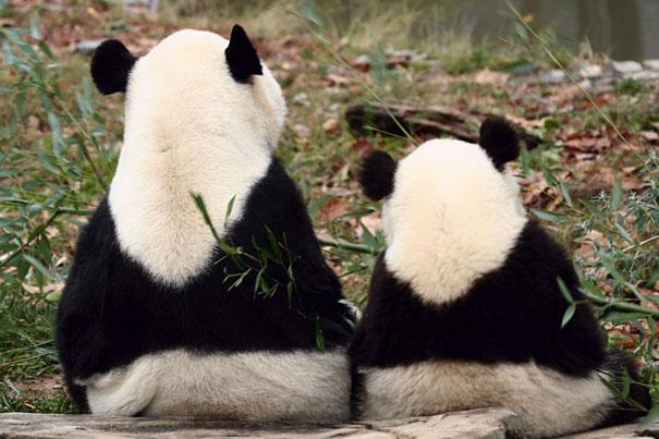 mini me pandas