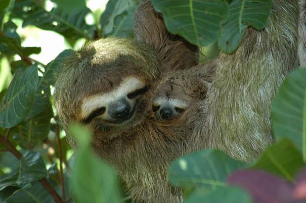 mini me sloth