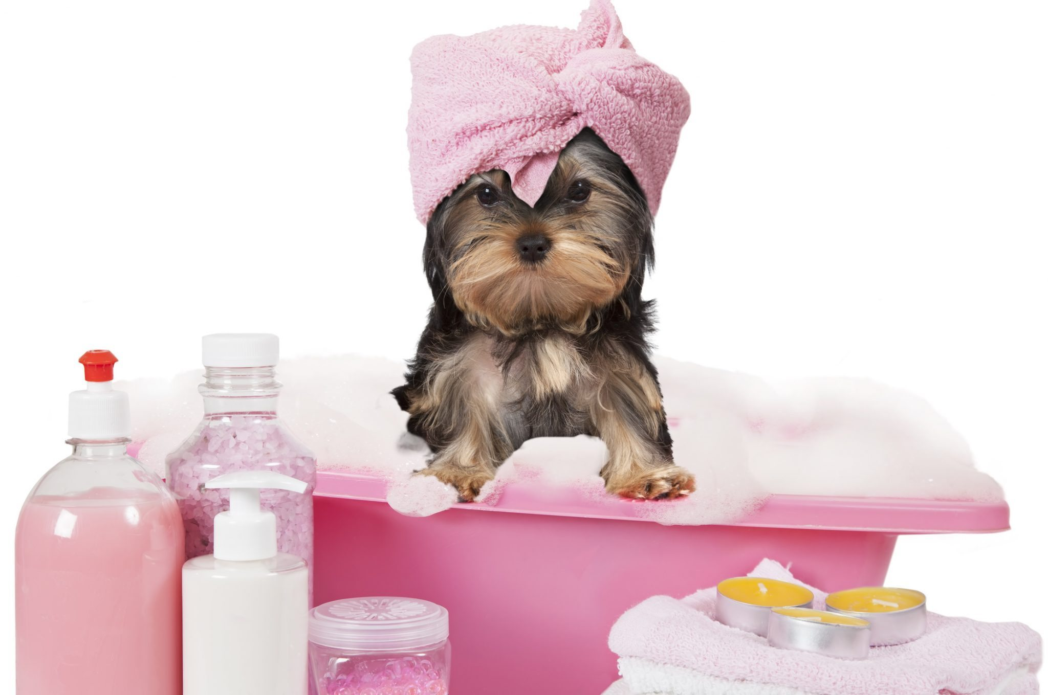 Yorkshire terrier taking a bath