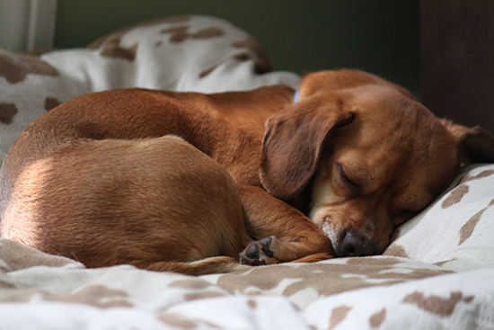 Sweet Puggle puppy sleeping on large dog bed