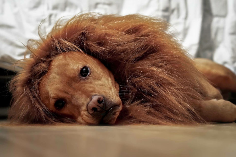 mighty lion dog