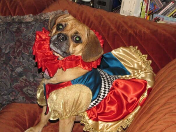 queen of hearts dog
