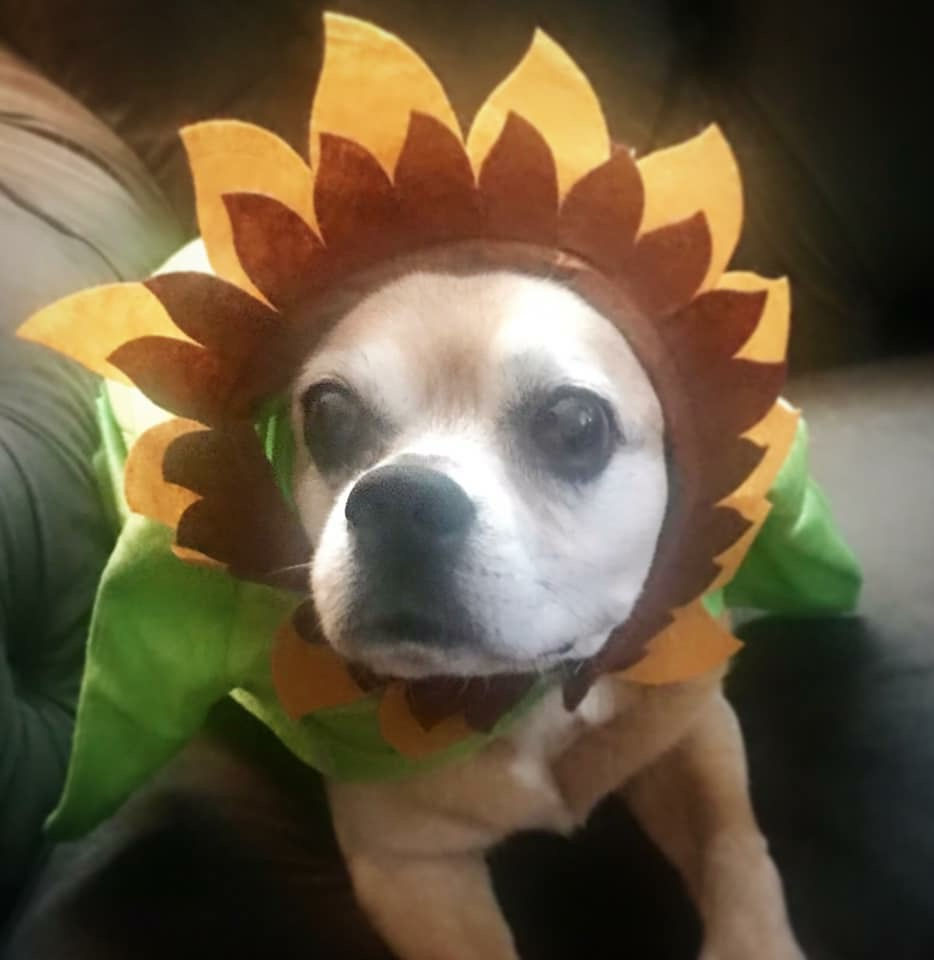sunflower pet