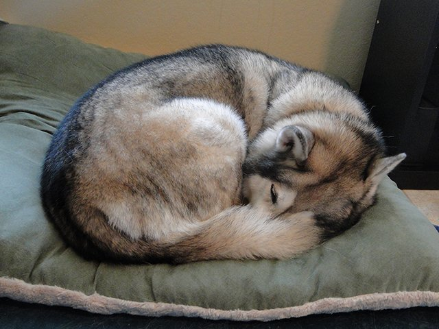 this dog forms a cute ring while sleeping